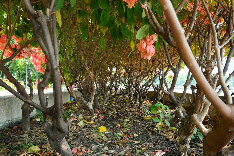 Dona Queen Sirikit Flower cor-de-rosa no fundo do céu azul e da luz solar no jardim imagem de stock royalty free