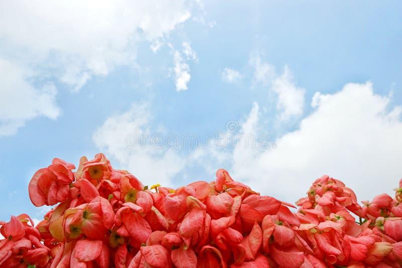 Dona Queen Sirikit Flower cor-de-rosa no fundo do céu azul e da luz solar no jardim fotos de stock