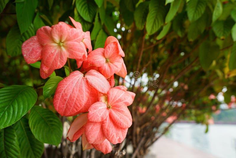 Dona Queen Sirikit Flower cor-de-rosa no fundo do céu azul e da luz solar no jardim imagens de stock