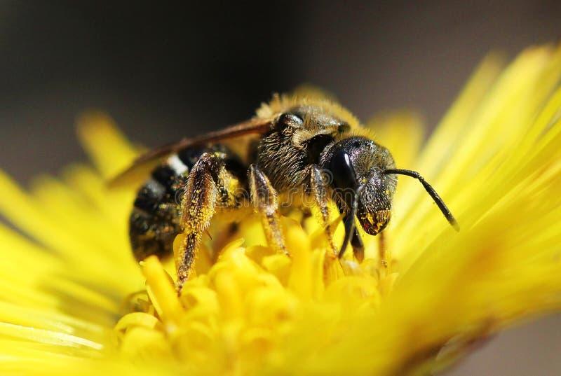 Donadora de polen fotografía de archivo libre de regalías