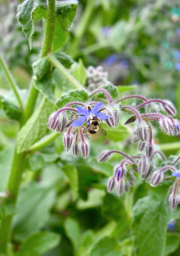 Donadora de polen de la abeja en la flor floreciente de la borraja imagen de archivo