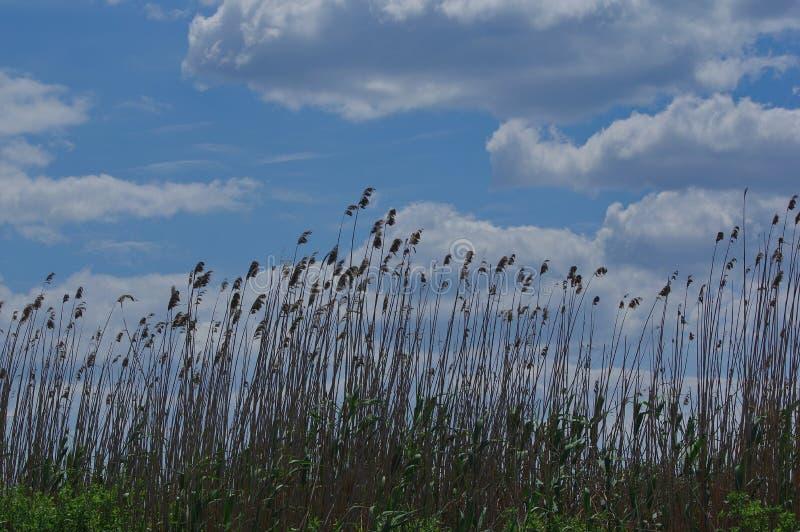 Donau-Deltalandschaft mit Schilf stockfotos