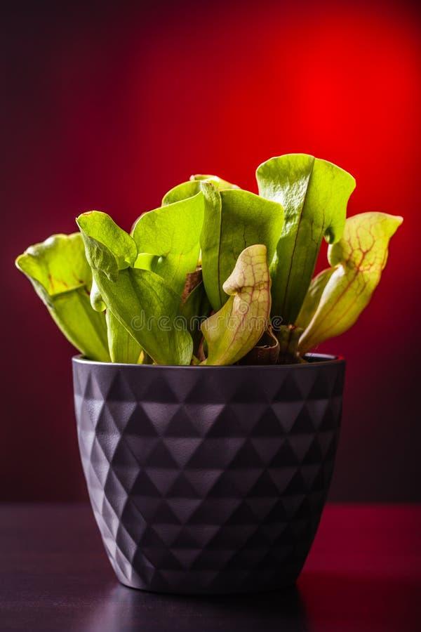 Doniczkowa mięsożerna roślina zdjęcia stock