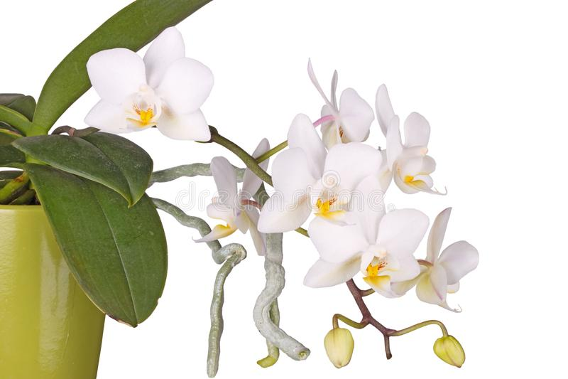 Doniczkowego, kwiatonośnego Phalaenopsis storczykowa roślina odizolowywająca, obraz royalty free