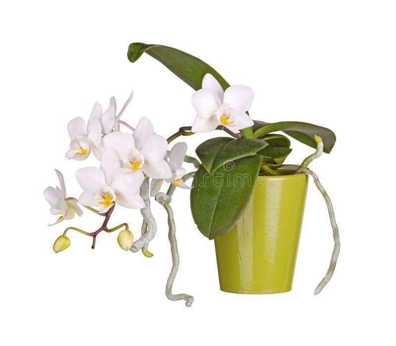 Doniczkowego, kwiatonośnego Phalaenopsis storczykowa roślina odizolowywająca, zdjęcie royalty free