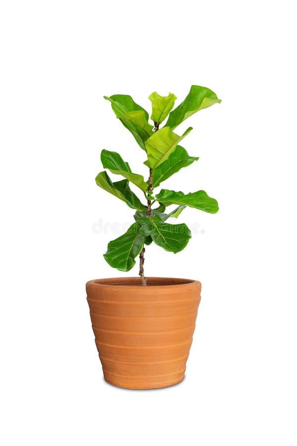 Doniczkowy Ficus Larata lub skrzypki liścia figi drzewo w garnku odizolowywającym na bielu fotografia stock