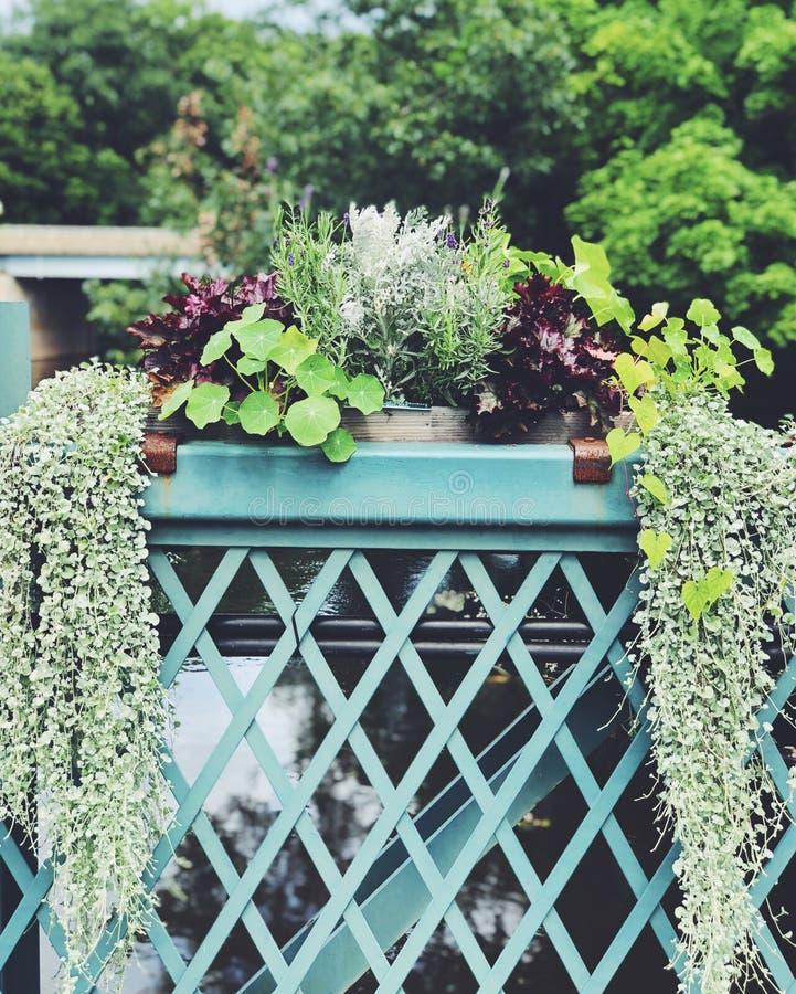 Doniczkowy Hydrocotyle rośliny vulgaris dorośnięcie zdjęcie stock