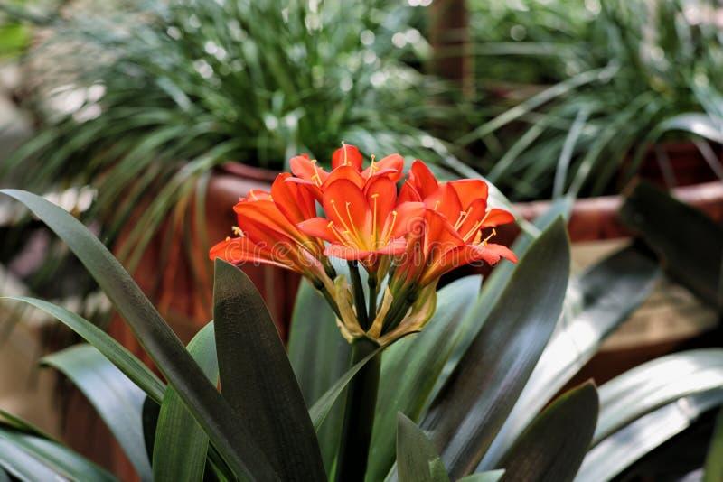 Doniczkowy kwiat jako prezent obraz stock