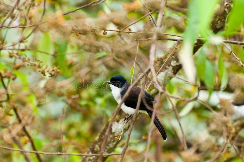 Donker-gesteunde Sibia-Vogel met groene achtergrond stock foto