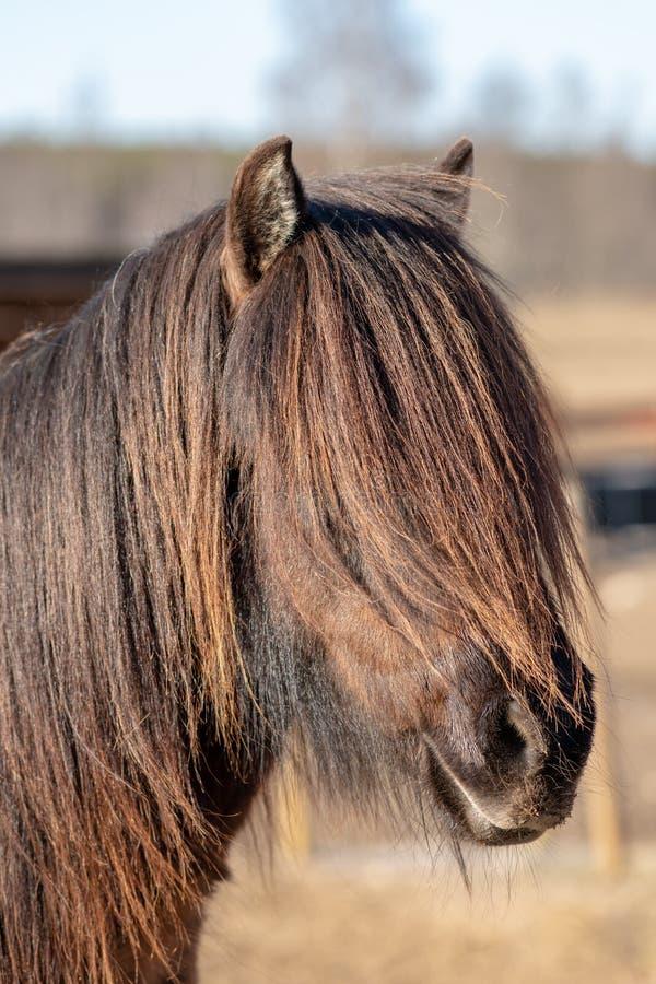 Donker Ijslands paard met uiterst lange manen royalty-vrije stock foto's