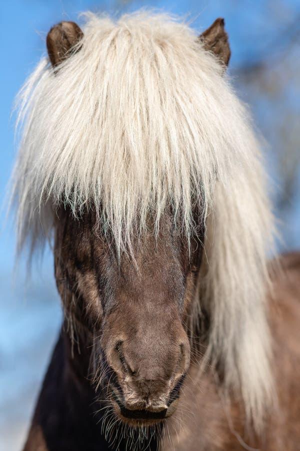 Donker Ijslands paard met witte manen in zonlicht royalty-vrije stock afbeeldingen