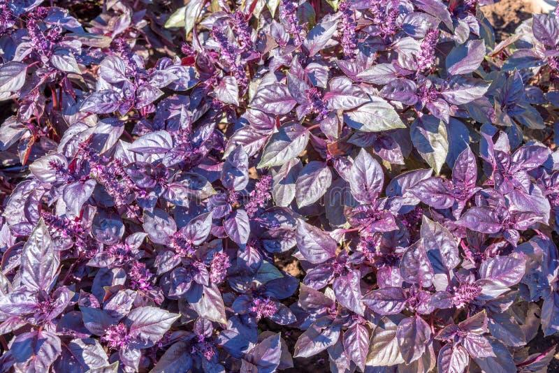 Donker opalen purper basilicum stock foto's