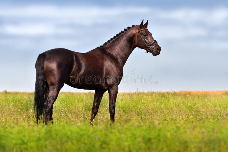 Donker Paard royalty-vrije stock afbeelding