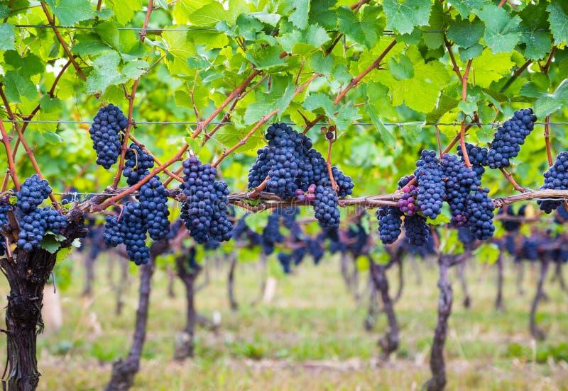 Donkerblauwe Wijngaarddruiven op bomen royalty-vrije stock fotografie