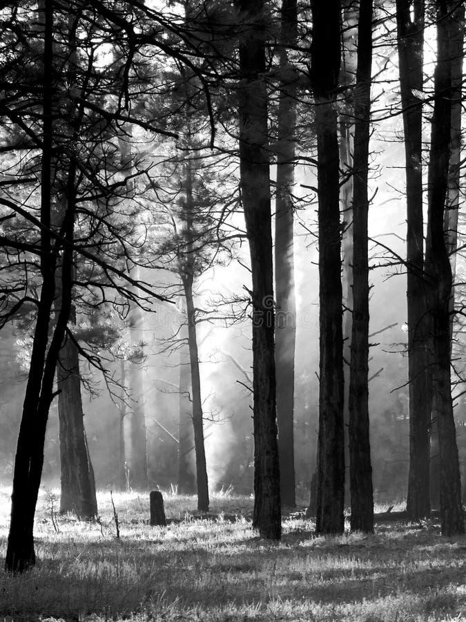 Donkere Bomen in Bos met Mist royalty-vrije stock foto
