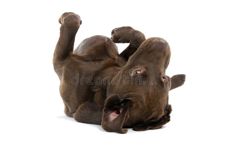 Donkere bruine hond op rug stock fotografie