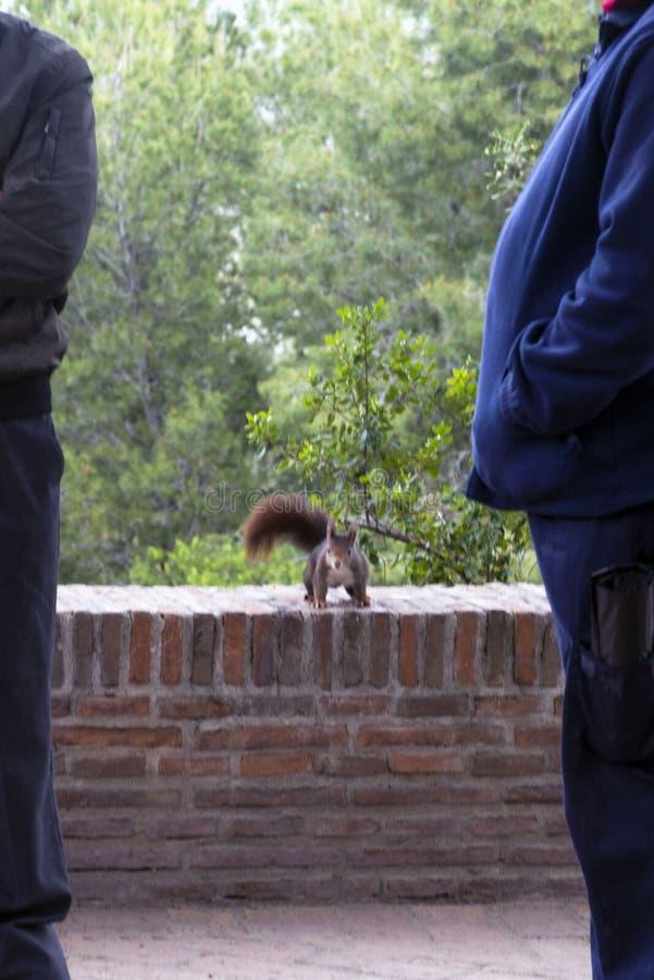 Donkere bruine pluizige eekhoorn in een park dichtbij twee mensen royalty-vrije stock foto