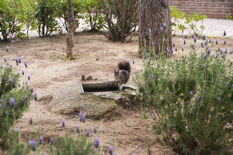 Donkere bruine pluizige eekhoorn in het park royalty-vrije stock afbeelding