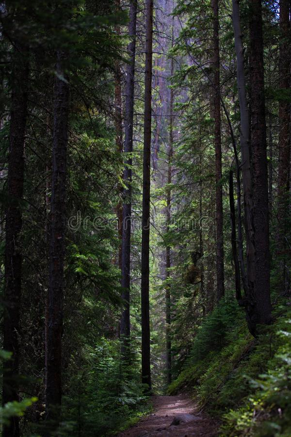 Donkere en Lange Pijnboombomen in Rocky Mountain National Park royalty-vrije stock foto