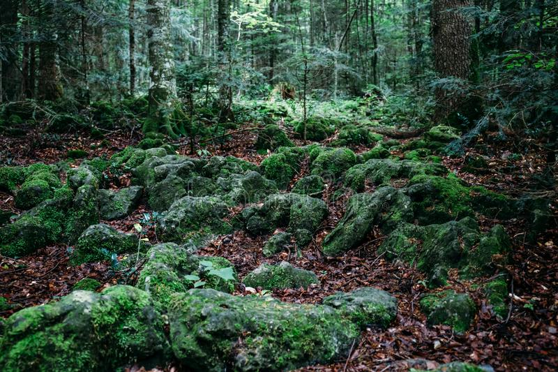 Donkere geheimzinnige die bos, stenen en boomwortels met mos wordt behandeld stock fotografie