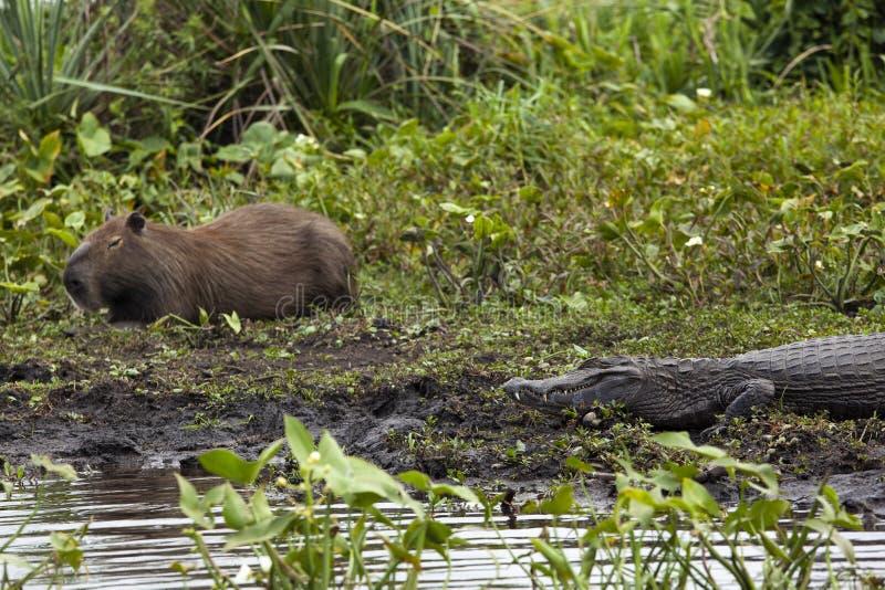 Donkere krokodillekaaiman yacare en mannelijke Capybara in Esteros del Ibera, Argentinië Het opwarmen in de ochtendzon royalty-vrije stock foto