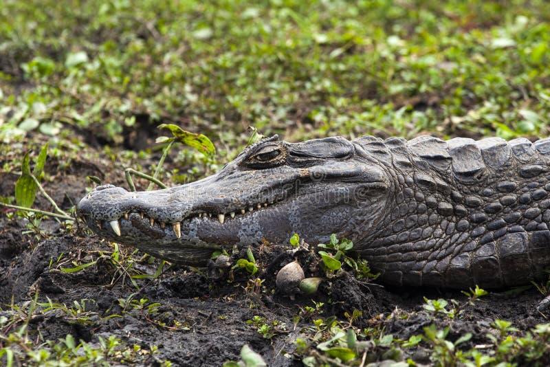 Donkere krokodillekaaiman yacare in Esteros del Ibera, Argentinië royalty-vrije stock foto's