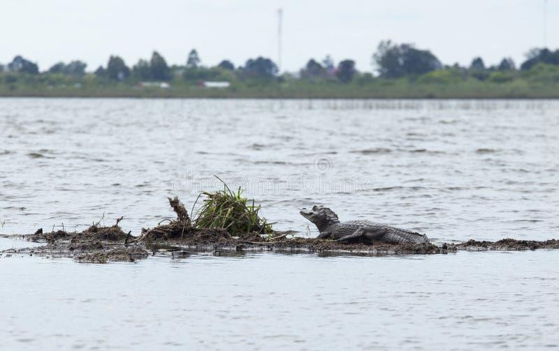 Donkere krokodillekaaiman yacare in Esteros del Ibera, Argentinië stock fotografie