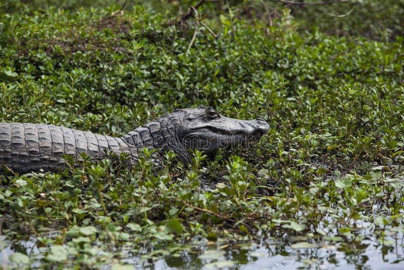 Donkere krokodillekaaiman yacare in Esteros del Ibera, Argentinië Het opwarmen in de ochtendzon royalty-vrije stock afbeelding