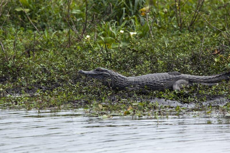 Donkere krokodillekaaiman yacare in Esteros del Ibera, Argentinië Het opwarmen in de ochtendzon royalty-vrije stock afbeeldingen