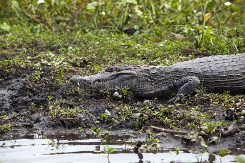 Donkere krokodillekaaiman yacare in Esteros del Ibera, Argentinië Het opwarmen in de ochtendzon stock fotografie