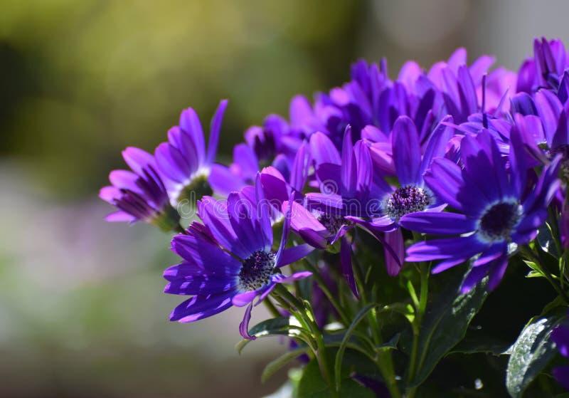 Donkere paarse Afrikaanse madeliefjes in een tuin Osteospermum royalty-vrije stock fotografie