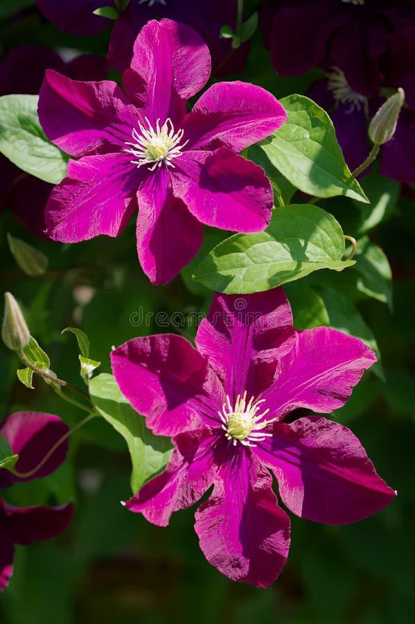 Donkere purpere clematissenbloemen die in de tuin in zonlicht bloeien stock afbeelding