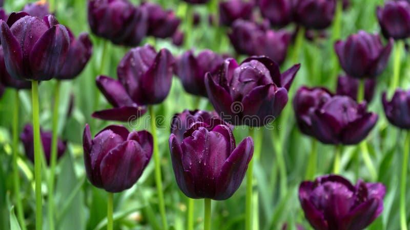 Donkere Purpere Tulpenbloemen in de lentetuin stock fotografie