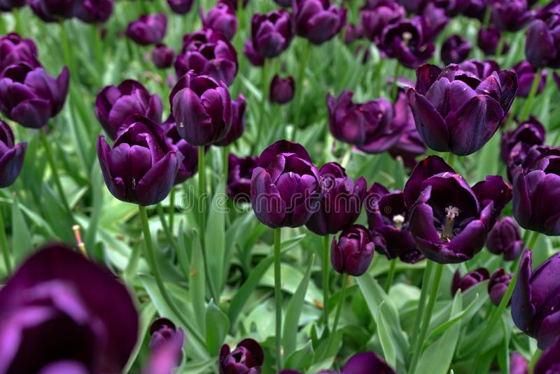 Donkere Purpere Tulpenbloemen in de lentetuin stock afbeeldingen