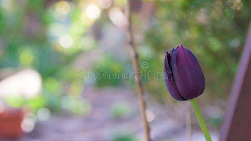 Donkere purpere zwarte tulpenclose-up royalty-vrije stock foto