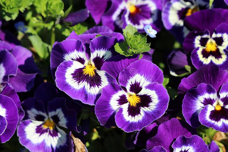 Donkere purple met witte en gele van de centrum Wilde viooltje of Altviool tricolor kleine wilde bloemen met heldere binnen dicht stock afbeelding