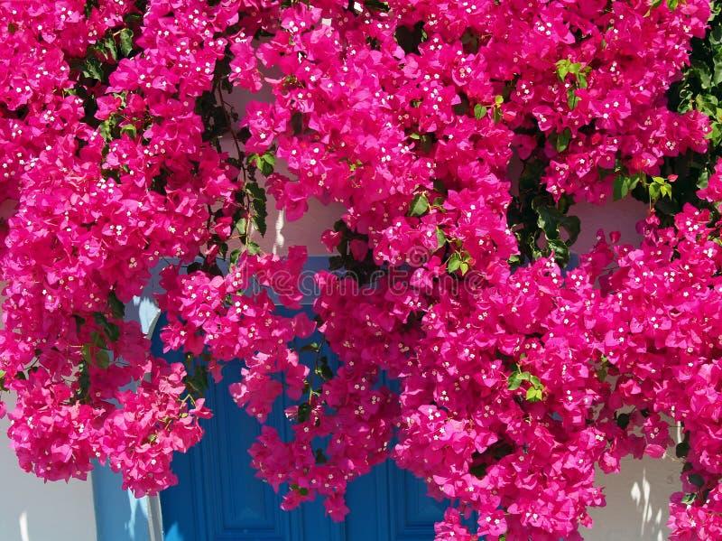 Donkere Roze Bouganvillea royalty-vrije stock foto's