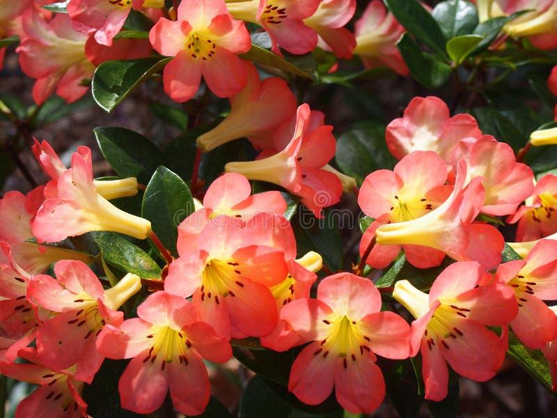 Donkere roze die Rododendronbloemen, in Sydney Royal Botanic Gardens worden genomen royalty-vrije stock afbeelding