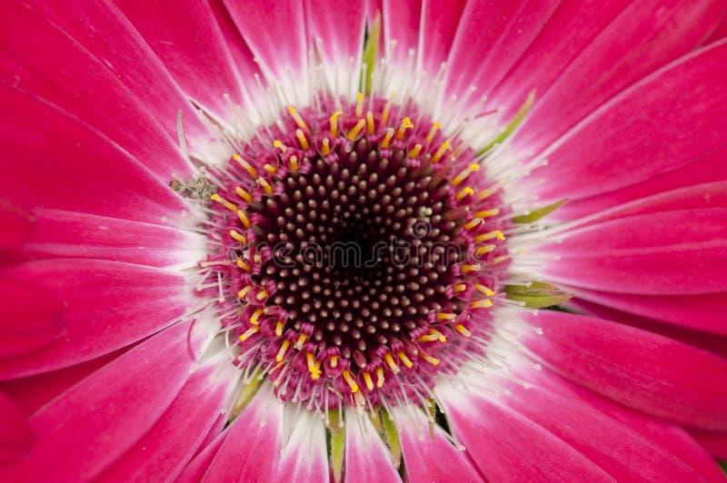 Donkere roze gerbera stock afbeeldingen