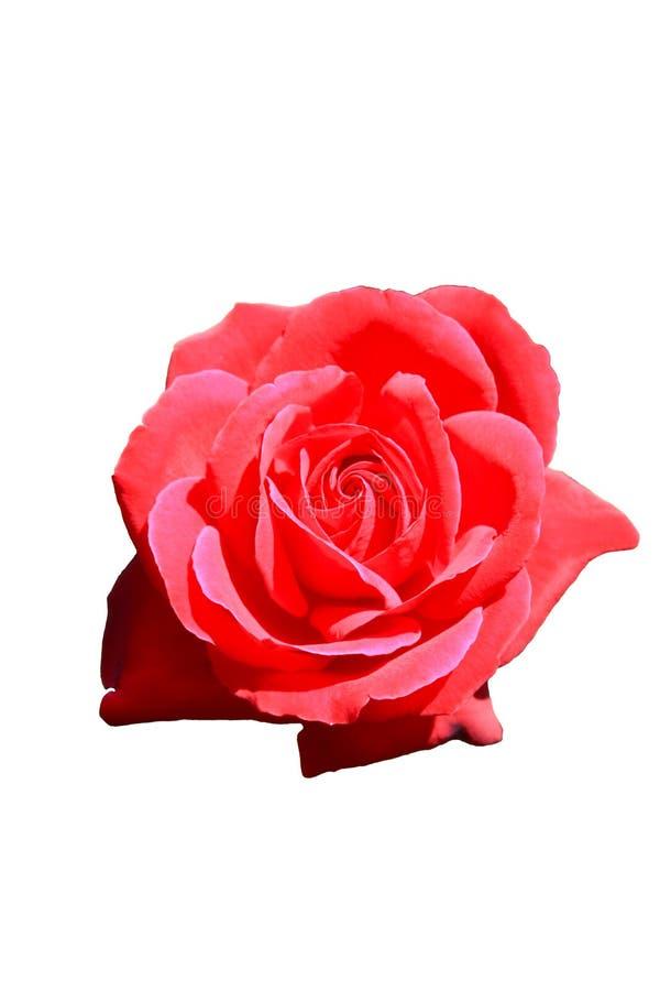 Donkere roze nam geïsoleerde witte achtergrond zonder stam of bladeren toe royalty-vrije stock afbeeldingen