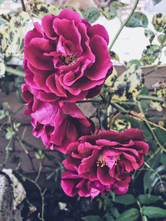 Donkere roze rozen stock afbeeldingen