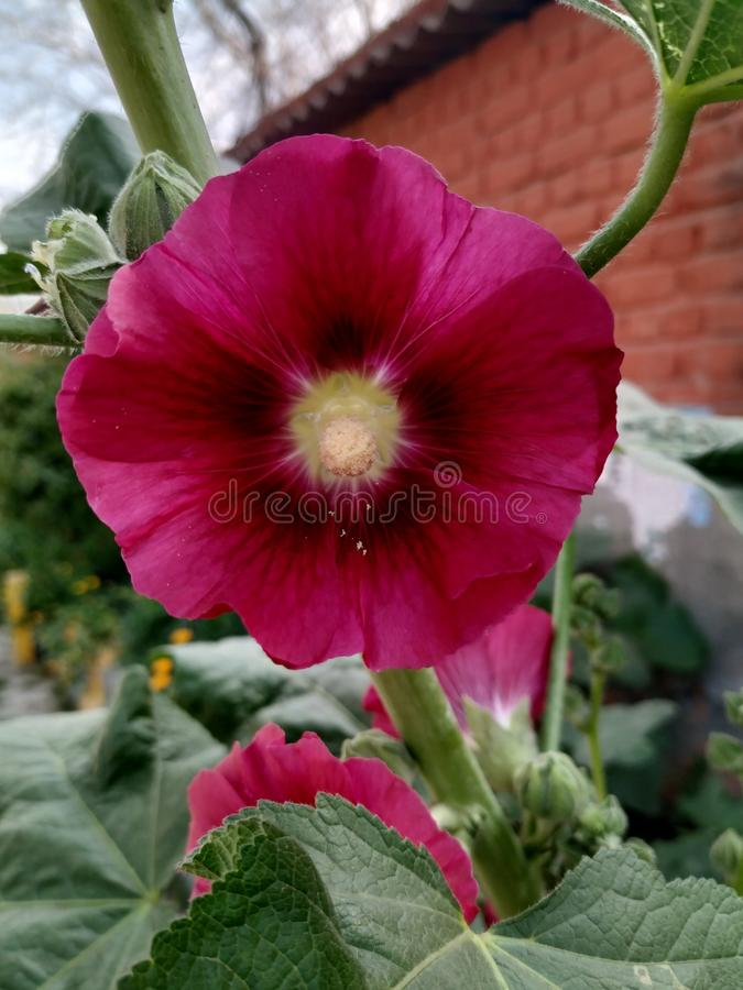 Donkere rozerode kleurenbloem met lichtgeel in centrum royalty-vrije stock fotografie