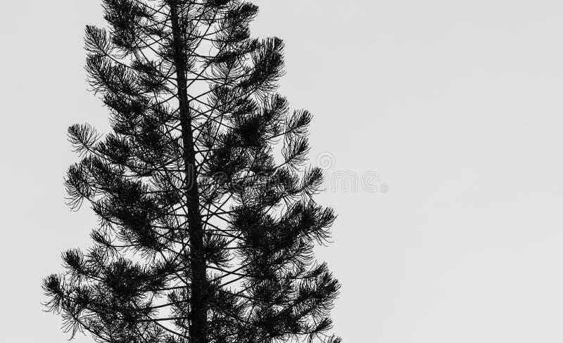 Donkere sihouette van de pijnboomboom op witte achtergrond royalty-vrije stock foto's