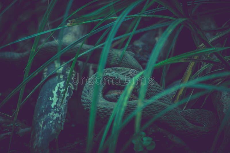 Donkere slang in het gras stock afbeelding