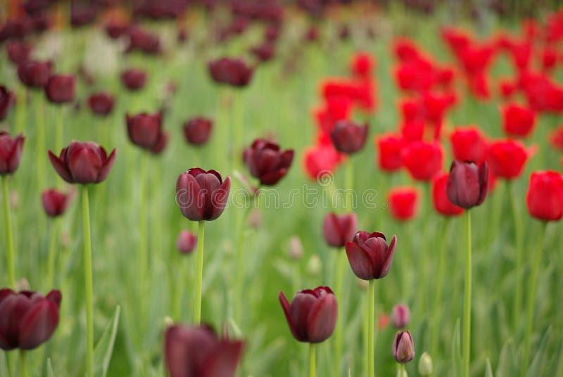Donkere Tulp stock fotografie