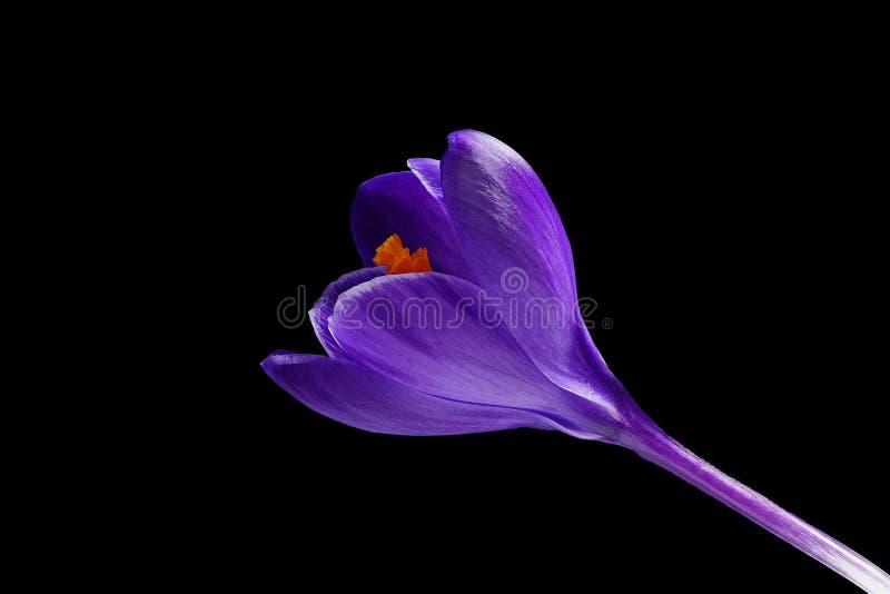 Donkere violette blauwe krokus - Krokusvernus - op zwarte achtergrond royalty-vrije stock fotografie