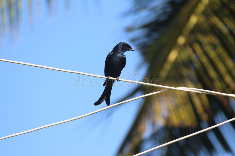 Donkere zwarte drongo in mijn dorp zat op een draadje, kijkt weg terwijl ik het opnam in mijn camera Het spoor is het 's bel royalty-vrije stock fotografie