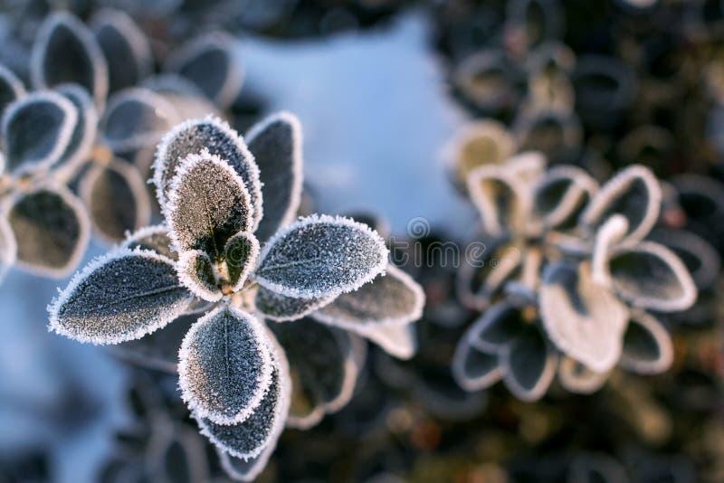 Donkergroene ronde bladeren in ochtend van de vorst de Vroege winter Tak met de vorstwinter die wordt behandeld Ijzige installati stock foto's