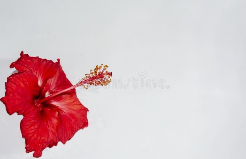 Donkerrode die Hibiscusbloem op witte achtergrond met exemplaarruimte wordt geïsoleerd stock afbeeldingen