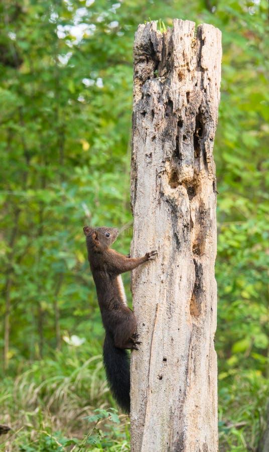 Donkerrode Eekhoorn die op een logboek beklimmen stock foto